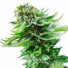northern-lights-autoflowering-xl.jpg