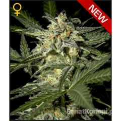 white-widow-autoflowering333.jpg