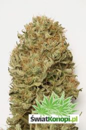 blue-dream-auto.jpg