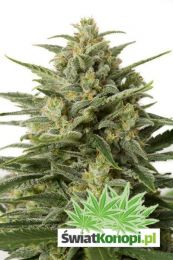 white-widow-xxl-autoflowering.jpg