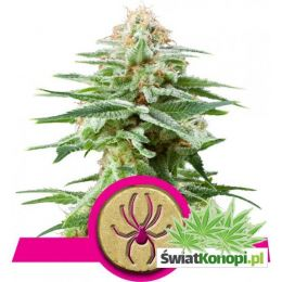 white-widow.jpg