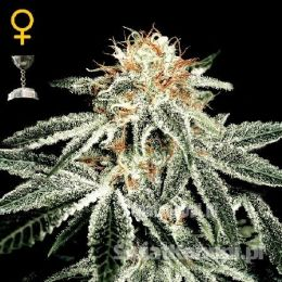 whitewidow_large.jpg