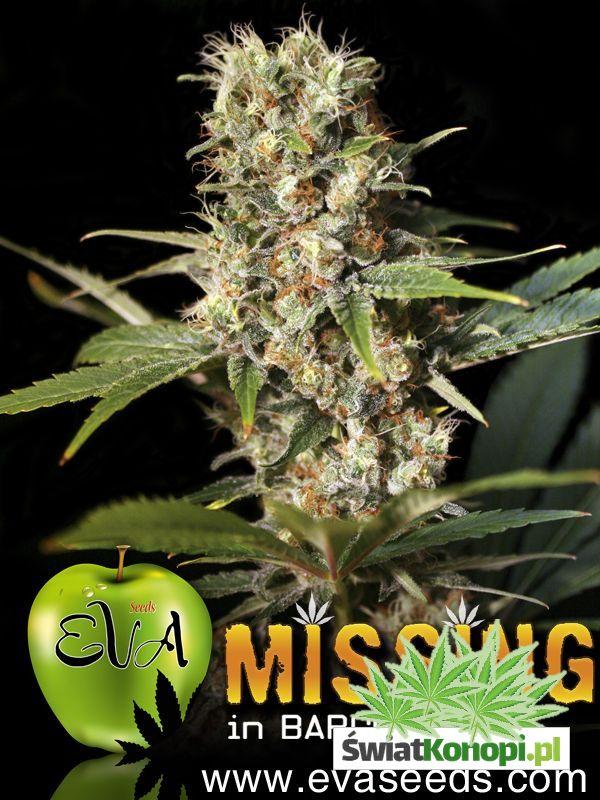 12e84a557 Nasiona marihuany Missing In Barcelona (Mib) od Eva Seeds | Indoor ...